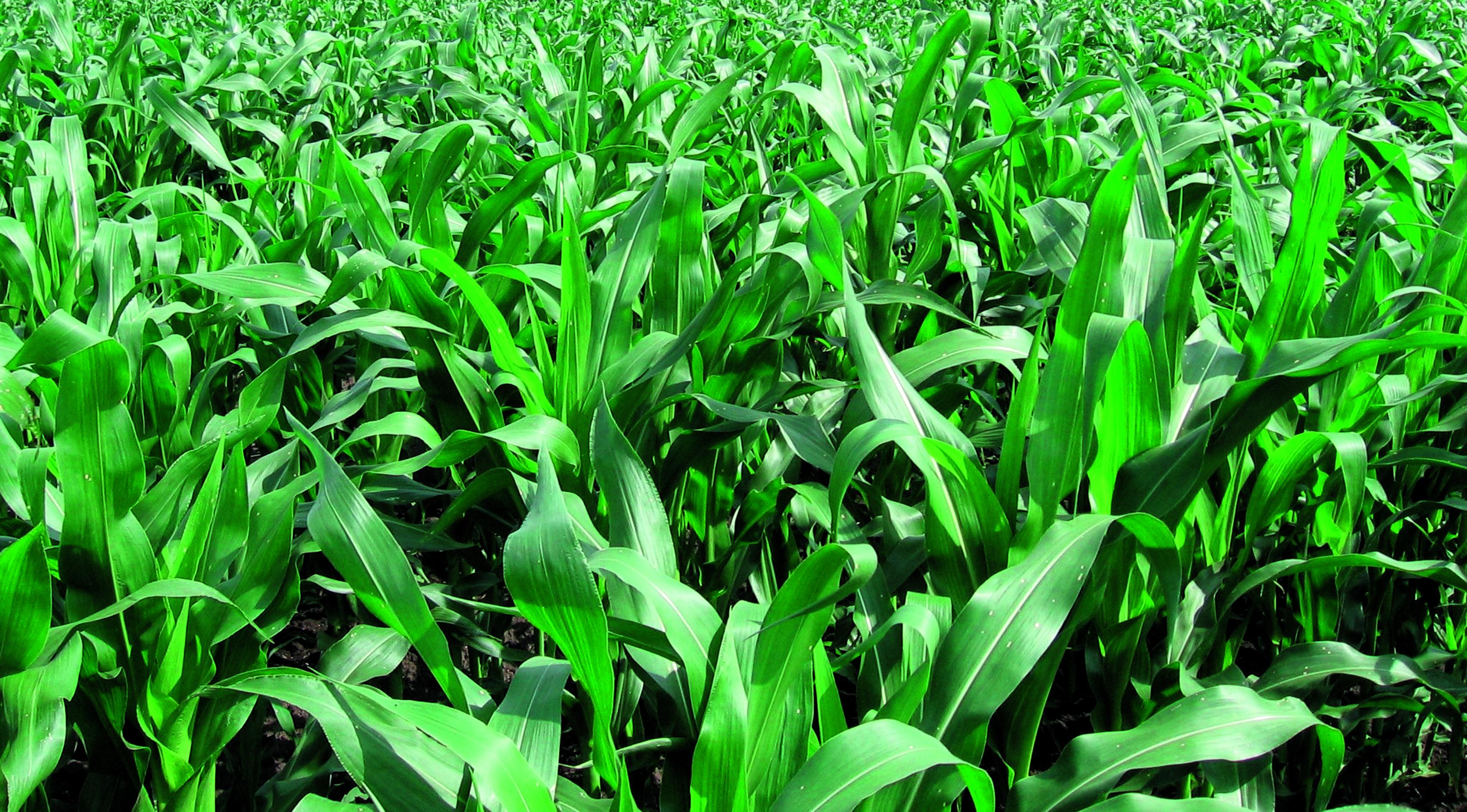 Пятнистость листьев кукурузы