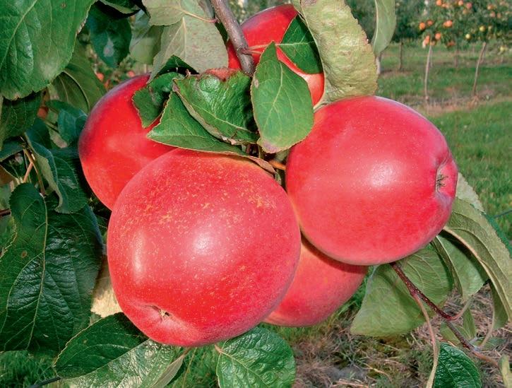 Подвой 54 118 для яблони что это