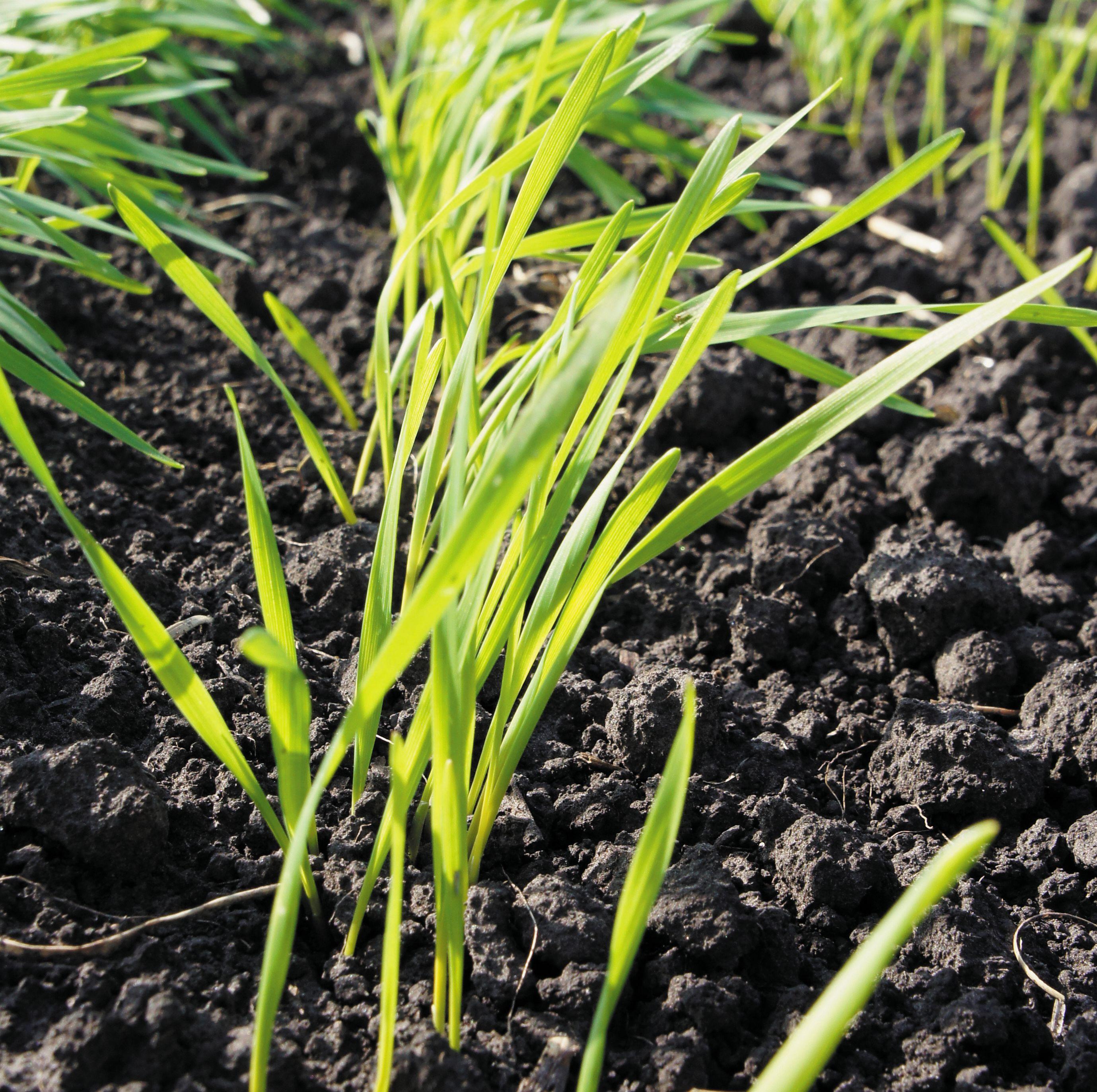озимая пшеница фото весной всходы пожелтели ока своим