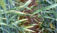 Симптоми дефіциту хлору на пшениці