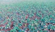 масове інфікування рослин восени