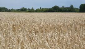 болезни озимой пшеницы