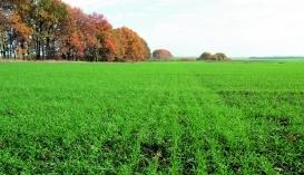 всходы озимой пшеницы