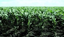 Зернова продуктивність кукурудзи залишається досить низькою, тому що її посіви засмічені та мають високу потенційну забур'яненість