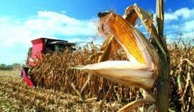 Кукурудза. Технологія вирощування