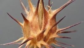 Ценхрус длинноиголковый. C. tribuloides Benth., C. echinatus Torr., C. cardianus Roalt., C. pungens H.