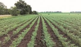 Торік урожайність нуту на цьому полі становила 2,6 т/га