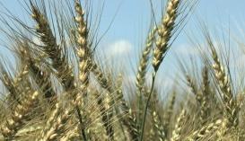 Биологические средства следует использовать по четко разработанным программам, неотъемлемой составляющей которых является постоянный мониторинг фитосанитарного состояния посевов