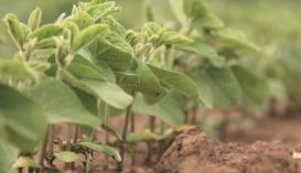 Економічна роль сої безсумнівна, тому що рентабельність її виробництва може сягати 200–400%