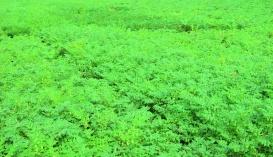 Середня багаторічна врожайність нуту за різних способів сівби мало відрізняється, завдяки доброму розгалуженню рослин нуту за розрідженого посіву