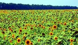 Останні  роки біологічний метод на зернових культурах застосовують для захисту від шкідників і хвороб на площі 267–500тис. га