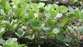 Найкращий вплив на ефективність симбіотичної азотфіксації справили Альбобактерин, Фітоспорин і Хетомік