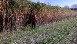 Ілля Пєтухов на зрілій плантації міскантуса