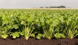 Переводячи фосфор у рухому форму, мікроби допомагають культурам, наприклад цукровим бурякам, засвоїти його і прискорити ріст рослин