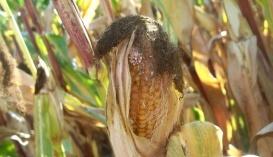 Качан, уражений кукурудзяним стебловим метеликом