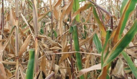 Поле, на якому кукурудзяним стебловим метеликом уражено 98% рослин