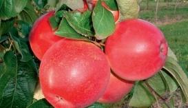 Плоди осіннього сорту Амулет