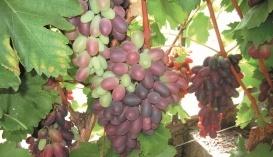 Достигання ягід винограду