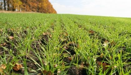Найефективнішою системою удобрення, яка забезпечує одержання максимальної зернової продуктивності різних сортів пшениці озимої під час вирощування по чорному пару, є передпосівне внесення мінерального добрива N30P30K30 з наступним підживленням посівів озимини азотом N30 по МТГ та N30 локально у фазі кущіння навесні