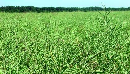 Эффективная защита рапса озимого от вредителей положительно влияет на продуктивность растений. Так, количество стручков на одном растении на обработанных инсектицидами вариантах была на 11,6-25,0% больше, чем на контроле