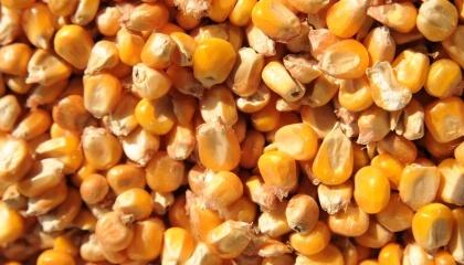 Ступінь ушкодження насіння робочими органами машин і механізмів різко зростає, якщо насіння надто сухе або, навпаки, вологе