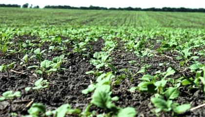 Рапсовые посевы, пораженные капустной молью