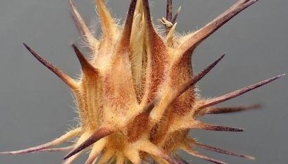 Ценхрус довгоголковий. C. tribuloides Benth., C. echinatus Torr., C. cardianus Roalt., C. pungens H.