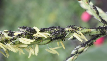 Кукуруза, вредители