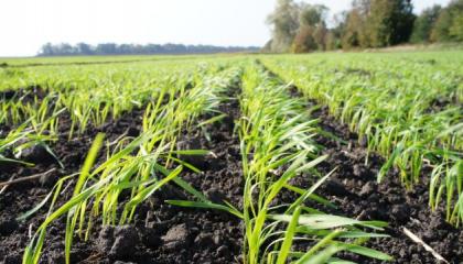 Озимая пшеница, поле