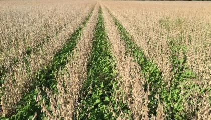сумісні посіви сої та покривної культури