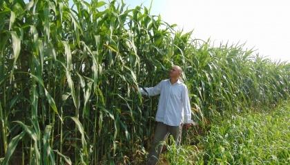 Сорго цукрове Довіста на дослідних ділянках Інституту зрошуваного землеробства НААН