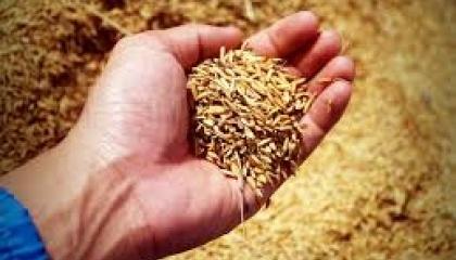 зерно урожай