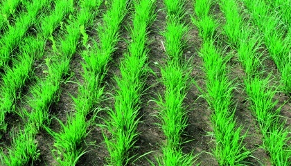 Восстановление вегетации проса прутовидного весной