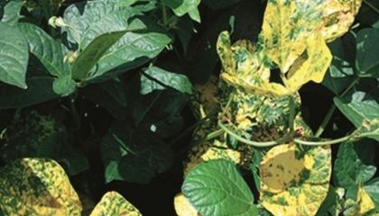 Золотиста мозаїка на листках вігни та квасолі, викликана Bean golden mosaic virus