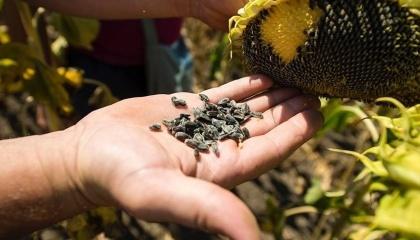 FАО координує масштабну дистрибуцію насіння кукурудзи та соняшника за підтримки Посольства Франції та приватного бізнесу