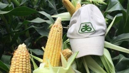 """Поздние гибриды кукурузы это также риск - можно получить больший урожай, а с другой стороны - отправить его """"под снег"""" в случае плохой погоды"""