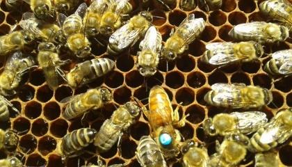Клещи Варроа являются самой серьезной угрозой для здоровья пчел во всем мире. Они сосут кровь насекомых, передавая смертельные вирусы. Фото с сайта www.paseka.in.ua