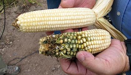 ГМО и не-ГМО кукуруза