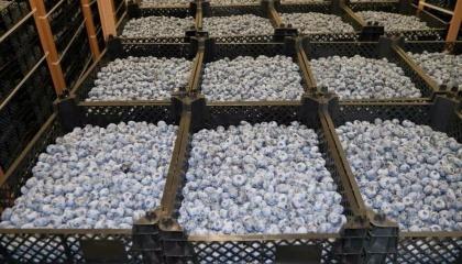 Оптовики каждый вечер урожай с долин отправляют на базы в крупные города. Оттуда замороженные ягоды большими партиями везут в Венгрию, Италию и Испанию. Лишь 20% ягод остается на Украине