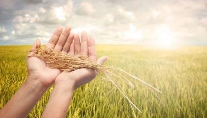 Озимую пшеницу необходимо собрать в течение 5-7 дней после достижения полной спелости зерна. Задержка с обмолотом пшеницы на 10-15 дней приводит к недобору 4-6 ц/га и более урожая