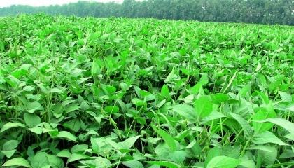 Украина занимает 1-е место в Европе по количеству выращивания сои
