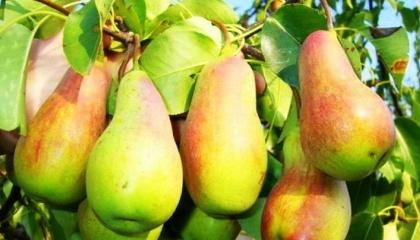 На рынке Украины существуют разные продукты, которые работают на удержание завязи, оказывают помощь дереву при морозах или заморозках: аминокислоты разных формуляций, удобрения