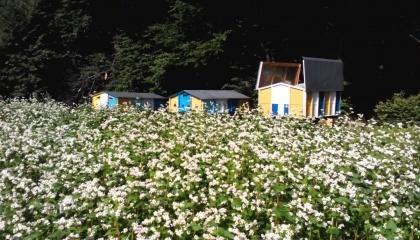 Розміщення на плантаціях достатньої кількості бджолосімей дозволяє підвищити врожайність гречки на 30-40%, а плодових садів на 50-60%