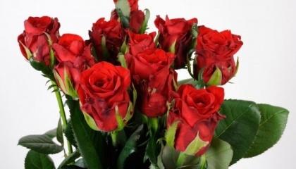 """Чтобы закрепиться на конкурентных рынках, в киевской компании """"Камелия"""" сосредоточились на выращивании новых сортов. В прошлом году 15% всех площадей компании засадили новым сортом красной розы """"Маричка"""" от немецких селекционеров"""