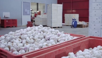 В этом году в Украине ожидается рекордный за последние несколько лет урожай чеснока - 180 тыс. т