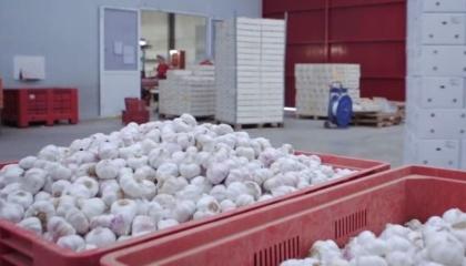 У 2017-му в Україні очікується рекордний за останні кілька років урожай часнику - 180 тис. т