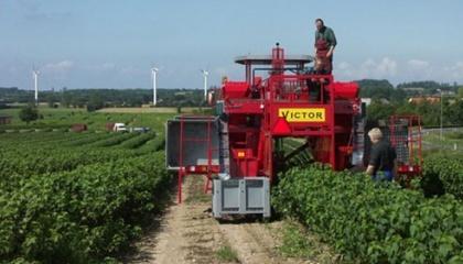 Украинские сорта черной смородины «Юбилейная Копаня», «Вернисаж», «Софиевская» показывают себя очень неплохо и даже выращиваются в Европе