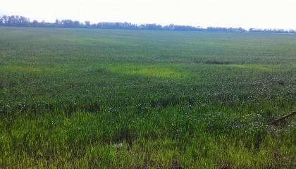 Всходы пшеницы в различных регионах Украины пошли пятнами. Это может быть как последствиями заморозков, так и признаком болезни