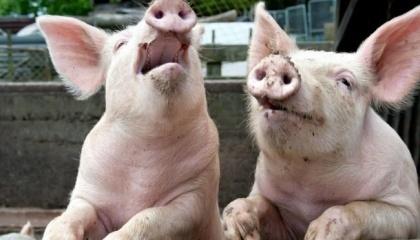У 2016 році у Полтавській області на ліквідацію наслідків захворювання на африканську чуму свиней витрачено два млн грн, ще 300 тис. грн – на компенсацію власникам знищених тварин