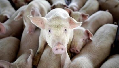 Донецька область займає перше місце в Україні по свинопоголів'я - майже 0,5 млн свиней і понад 120 т/рік готової продукції